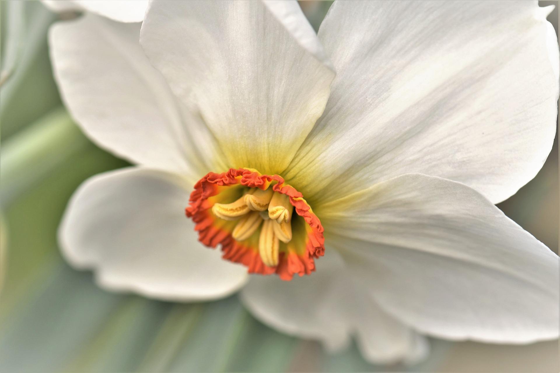 Narciso Daffodil